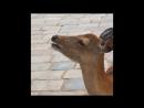Screaming deer in Nara Japan (Original)