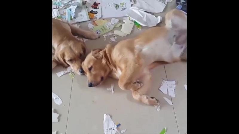 Собаки разгромили дом (VIDEO ВАРЕНЬЕ)