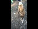 пёс Грей Масик жил на ул.Заводская г.Всеволожск