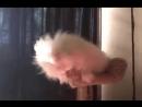 На рынке сказали возьмите этого милого белого котика