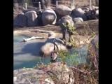 Слонёнок и гусь конфликт в зоопарке