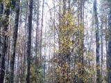 Я в осеннем  лесу...с ненаглядной певуньей...