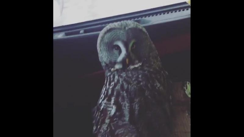 Водитель такси подобрал на дороге сову с подбитым глазом