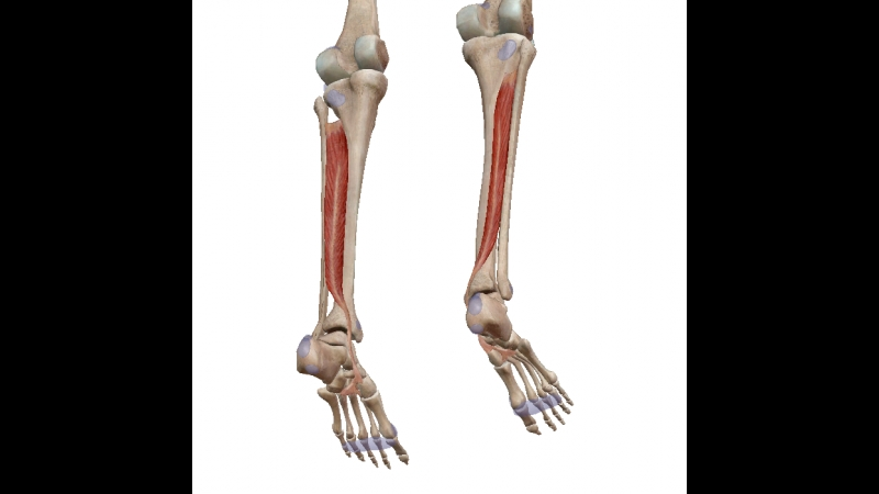 Задняя большеберцовая мышца