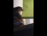 прикол смешное видео кошка дурочка лижет жалюзи сошла с ума шок контент
