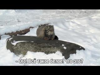 Манул из Московского зоопарка удивился снегу