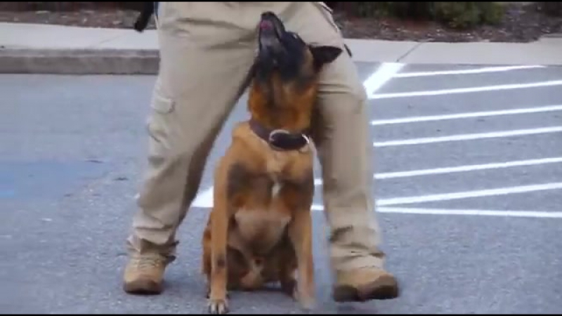 Police K9 Tactical Obedience