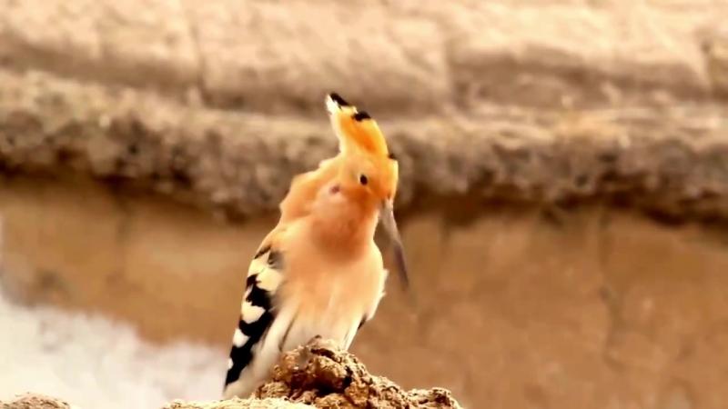 Пение птиц. Удод (Upupa epops)