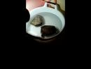Черепахин вальсирует