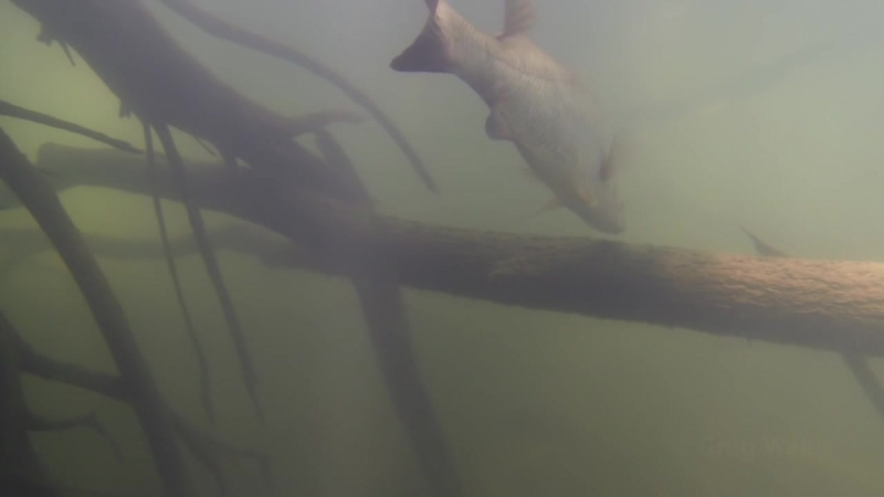Native Fish Barramundi Lates calcarifer Finniss River Northern Territory