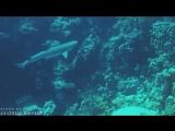 Фридайвинг с Рифовой акулой - Reef SHARK