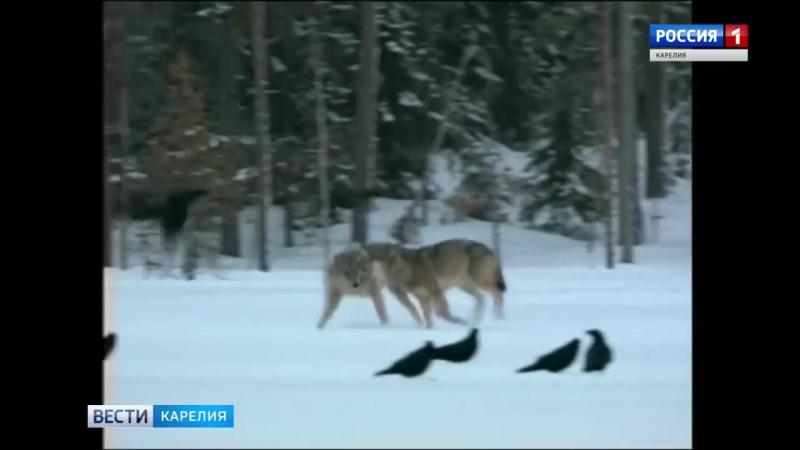 Массовый отстрел волков идет лесах Прионежья