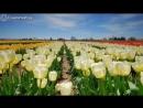 Плантация тюльпанов