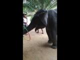 В тайланде, это домашнее животное!
