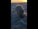 Наглый белый лис ворует рыбу 😀