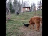 теленок и его друзья собаки