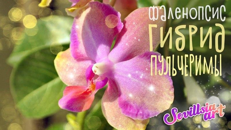 Орхидея фаленопсис неоновый с рюшами, Гибрид Пульчеримы