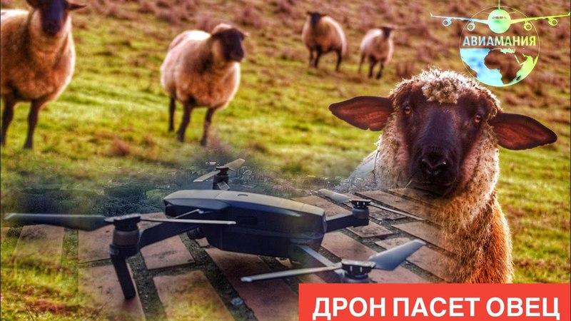 Дрон пасет овец африканский ягненок и квадрокоптер - страх и паника в Тоскане