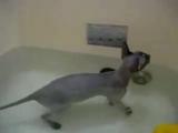 лысая кошка купается
