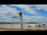 Великолепный страус-2. Водопой.
