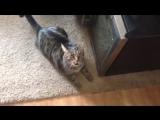 Не признала! Неожиданная реакция кошки на запах другого кота на хозяйке