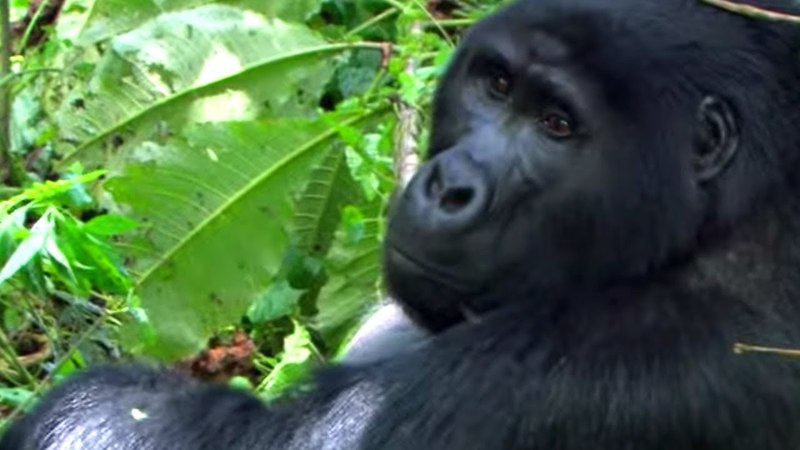 Getting too Close to a Gorilla Leads to Unexpected Consequences   BBC Earth