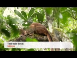 Fossa Madagascar Rainforest AQUA FIRMA Ralph Pannell