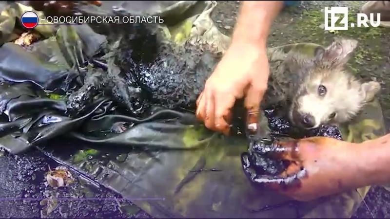 Застрявшего в гудроне щенка спасли в Новосибирске