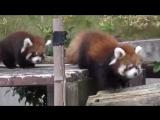 Милые красные панды