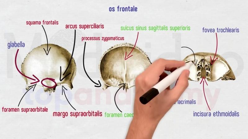 Череп 1- Лобная и клиновидная кости