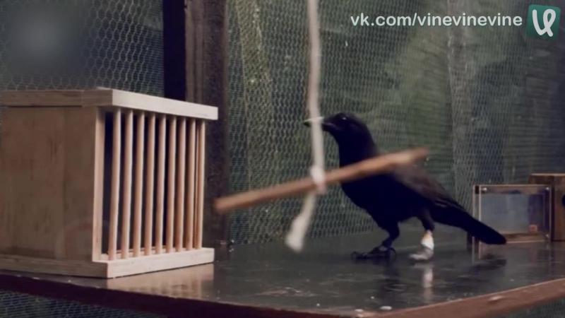 Умная ворона