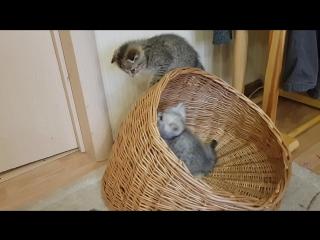 Озорные шотландские котята. Девочки. 2 месяца