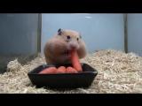 Хомяк и морковка