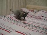 Мистер Патрик (Корниш рекс) прикол с котом ржака смешное видео.mp4
