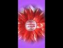 королевские хризантемы лапочка дочка