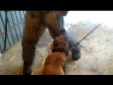 Тренировка собак Росгвардии при поиске и атаке человека в
