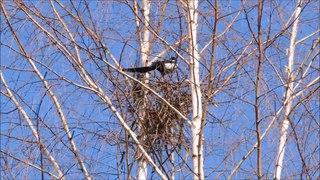 Две хитрые 🦅 сороки вьют гнездо на берёзе (Pica pica). Relax Musical.