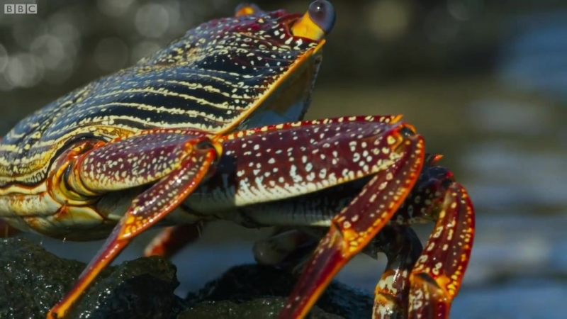 Blue Planet II: Crab vs eel vs octopus