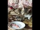 Кошка из Пскова стала мамой для двух сурикатов