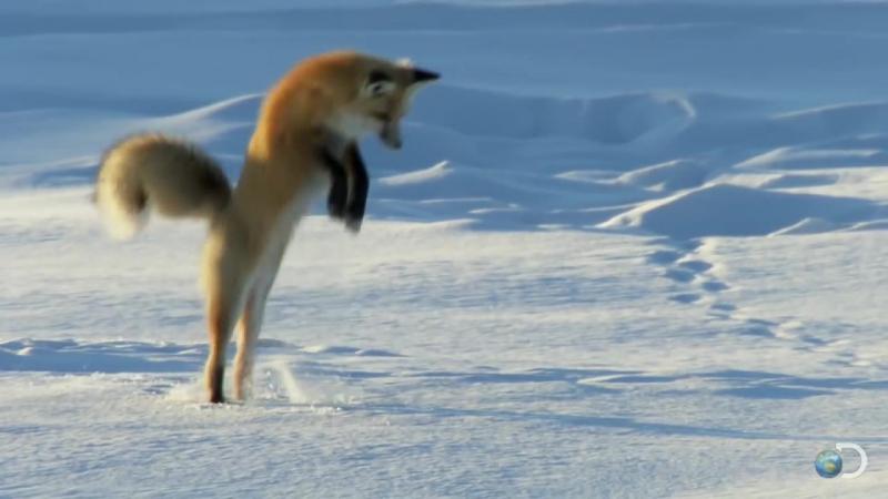 Fox Dives Headfirst Into Snow _ North America
