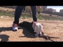 Как разжать челюсти бойцовской собаке, питбулю, стаффу в драке