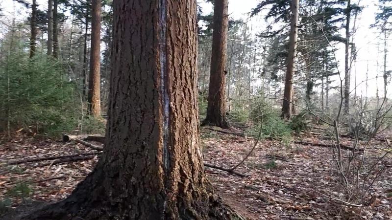 Нидерланды. Дерево..меченное молнией. И стоит..и живет и жизни радуется- нам всем пример !