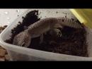 Самка эублефара откладывает яйца Leopard gecko laying eggs