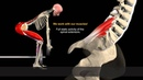 How to Avoid Injuries While Lifting: Watch the muscles in 3D