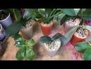 Мой опыт посадки орхидей в субстрат Цеофлора для орхидей
