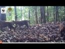 Тигриная жизнь