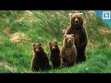Цирк бросил 4 медведей голодать