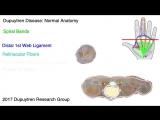 анатомия ладонного фасциального комплекса