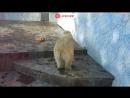 Белая медведица Комета отмечает юбилей в Ростовском зоопарке - live