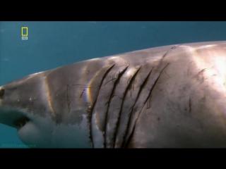 «Планета хищников: Большая белая акула» (Документальный, природа, животные, 2006)